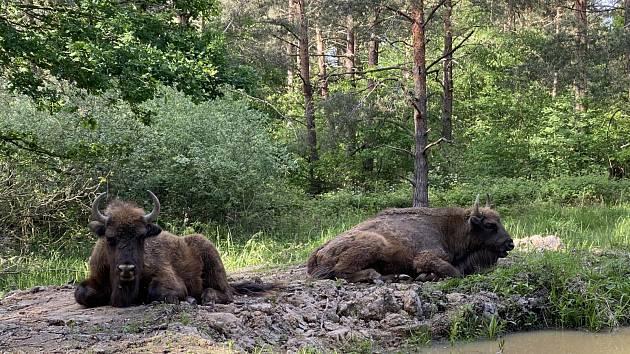 Nemalé prostředky investoval Robert Beneš do pořízení a vytvoření rezervace pro divoká zvířata včetně zubří rodinky