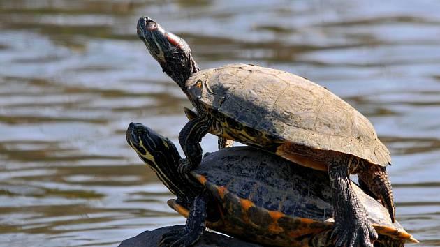 Želvy nádherné