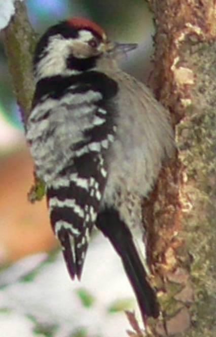 Strakapoud malý (Dendrocopos minor)