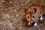 Pokud máte ve svém obydlí nezvané návštěvníky v podobě myší nebo potkanů, dobře zvažte, jakým způsobem se jich zbavíte.