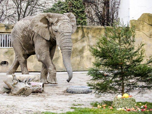 Trojice slonů afrických v Zoo Dvůr Králové nad Labem na Trutnovsku si dnes pochutnala na vánoční nadílce, v níž bylo i několik vánočních stromků.