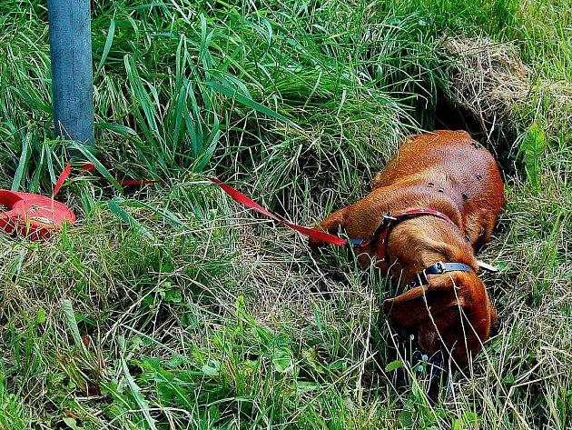 Mrtvolu jezvčíka našli v neděli ráno nedaleko útulku v Dětmarovicích tamní pracovníci.