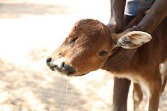V Indii se narodilo dvouhlavé tele