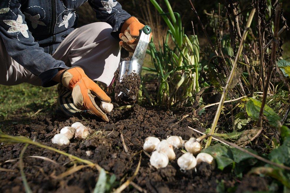 Dokud nemrzne, což v posledních letech bývá skoro pravidlem, mohou putovat cibule tulipánů či modřenců do země ještě na začátku prosince.