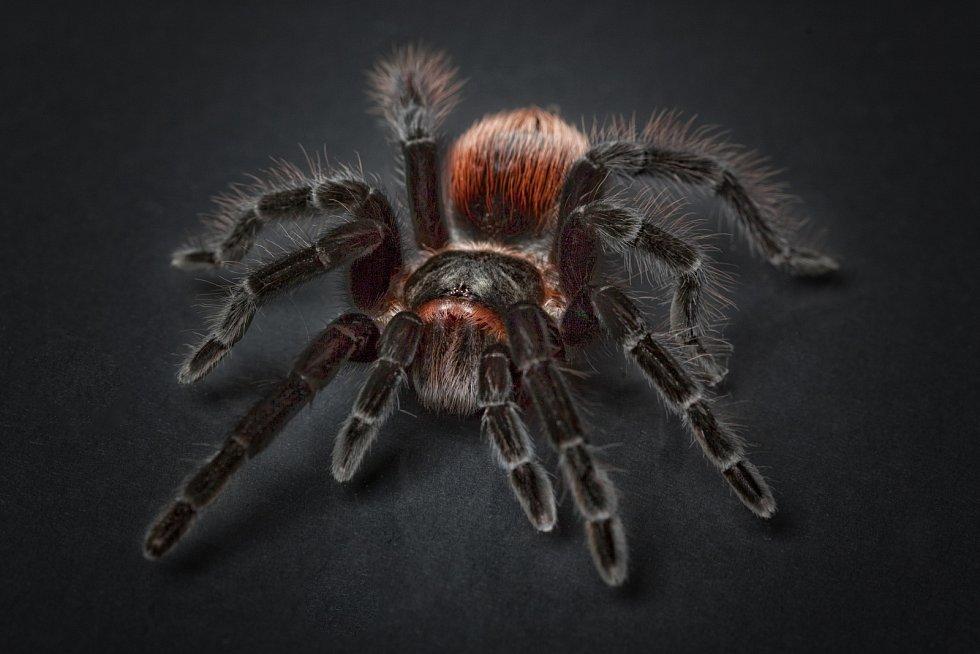 V symbióze žije dokonce tarantule a jeden druh kolumbijské žáby. Sdílejí spolu dokonce jedno obydlí.