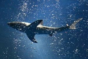 Žralok bílý - ilustrační foto.