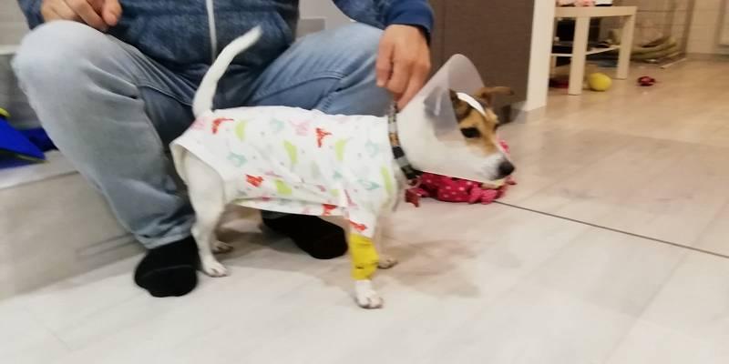 Naše Suzuki a její apartní obleček po kastraci a operaci kýly.
