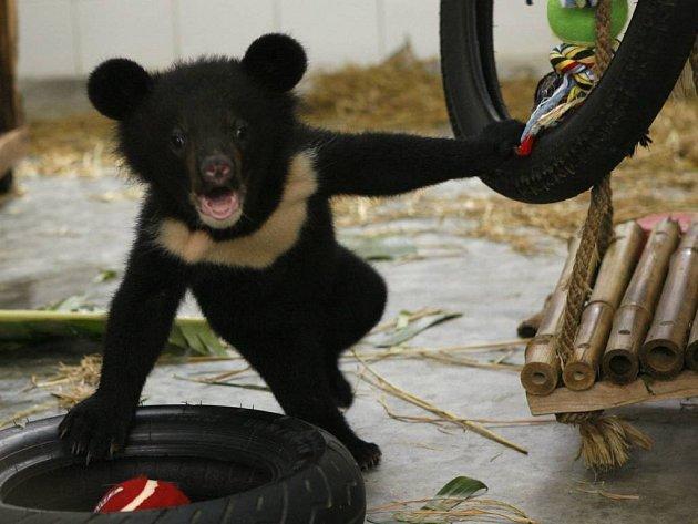 Roztomilý asijský černý medvídek si spokojeně hraje v odpočinkovém centru národního parku Tam Dao severně od Hanoje. Ředitel parku sdělil, že centrum slouží jako azyl pro divoká zvířata, která jsou v jeho zemi zabíjena.