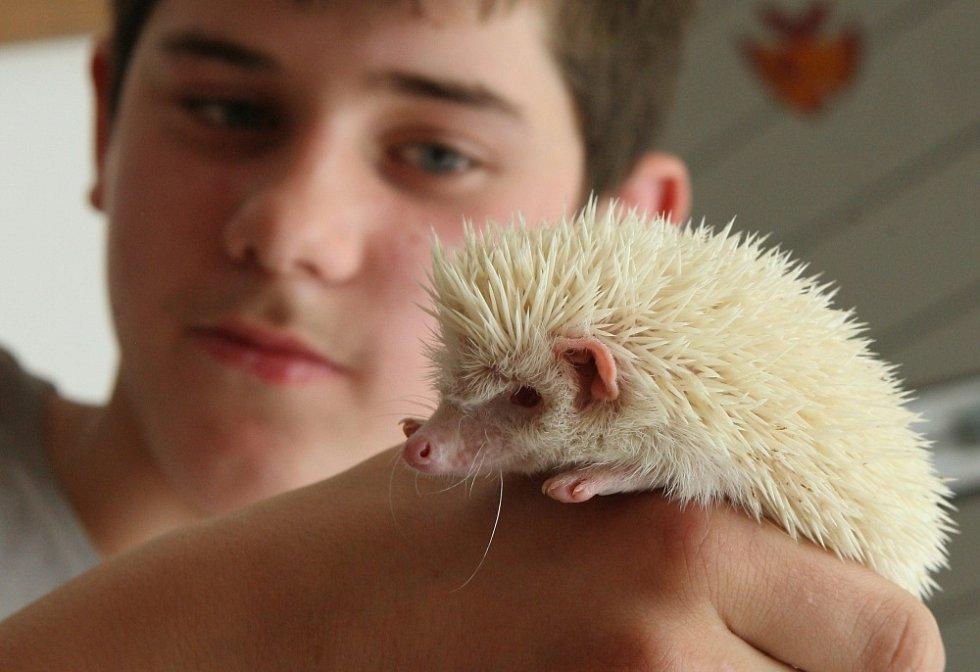 Ježek albín.