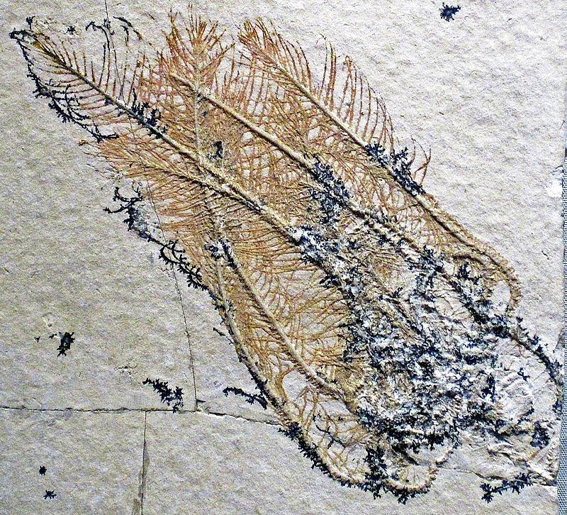 Comatula pinnata Goldfuss, zkamenělina z období jury nalezená v roce 1831 v Bavorsku