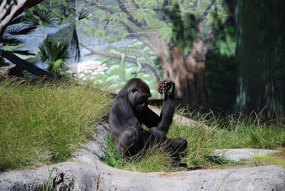 Nákaza covid-19 zasáhla v Kalifornii i zoo, ilustrační foto