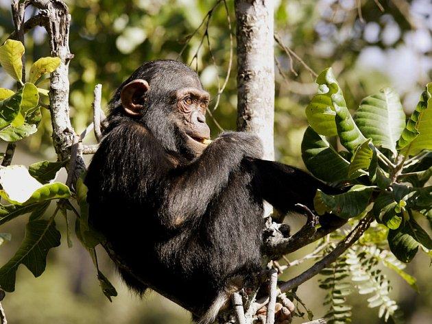 Zdraví šimpanzů trpí zájmem turistů. Ilutrační foto.
