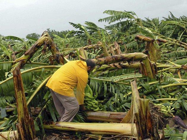 Muž se snaží zachránit co se dá z banánovníkové plantáže v kubánském Cienfuegos, přes níž se přehnalo oko hurikánu Gustav.