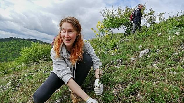 Dobrovolníci pomáhají ochráncům přírody na Pálavě likvidovat invazní boryt barvířský.