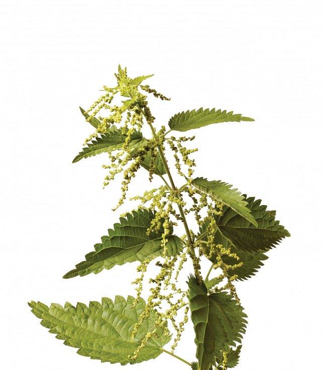 U kopřivy se sbírají především listy, ale také kořeny asemena.