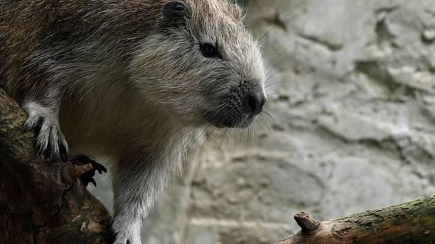Hutia-konga, nejbližší příbuzný nového živočišného druhu, objeveného na Kajmanských ostrovech