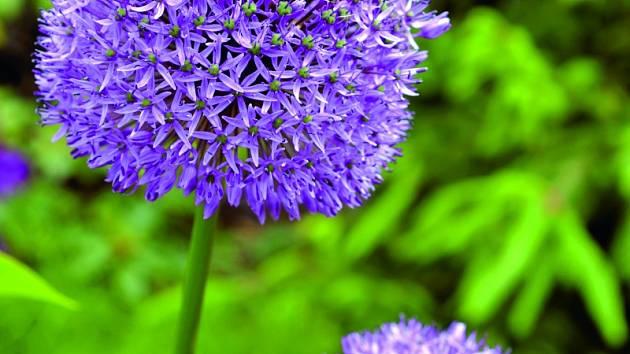 Okrasný česnek s modrofialovými velikými bambulemi je ale potřeba zasadit zhruba na začátku října. Následující rok pokvete mezi květnem a červencem a ještě po odkvětu bude zahradu zdobit suchými hlavičkami.