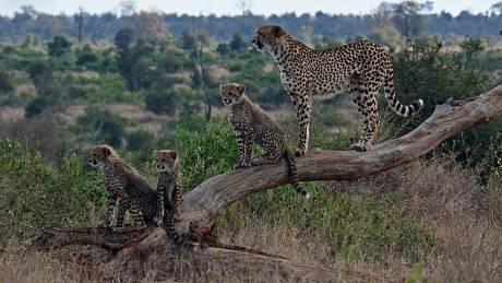 Gepardí rodina ve volné přírodě. Ilustrační snímek
