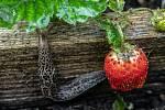 Slimáci ničí úrodu