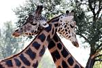 Žirafy.