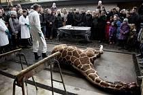 Kodaňská zoo utratila zdravé žirafí mládě.