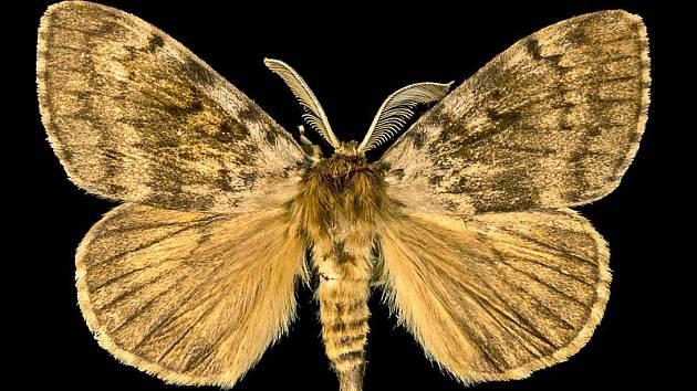 """Motýl bekyně velkohlavá. Jeho anglické pojmenování v sobě nese slovo """"gypsy"""" - """"cikán"""". Americká entomologická společnost proto tento název vyškrtla, a hledá nový."""