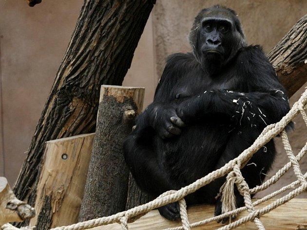 Kamba - samička gorily nížinné v pražské ZOO.