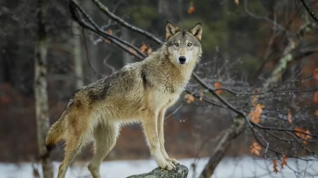 Vlk, ilustrační foto