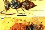 Nahoře pravěká chalcidka, vosa často parazitující na vajíčkách jiných druhů hmyzu. Dole primitivní vosa s modrozelenou hrudí