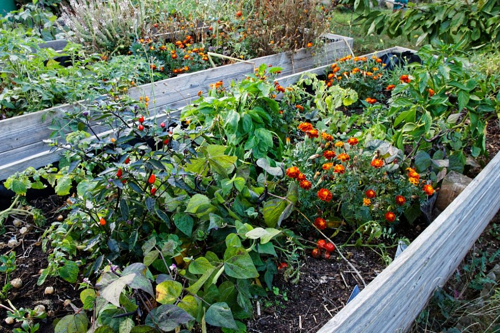 Pěstování ve formě smíšené kultury zažívá svou renesanci. Jde o způsob vytváření mnohodruhových záhonů, pokud možno zelenina i květiny dohromady, využívají se i některé plevele.