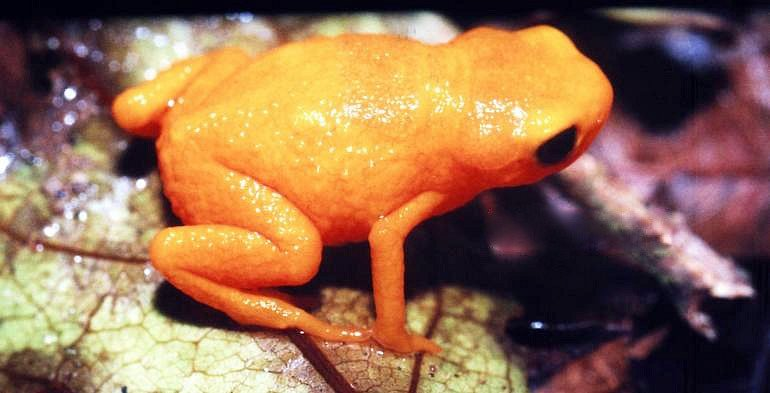 Nově popsaný druh žáby patří do čeledi ropušenkovitých. Nejznámější z nich je ropušenka drobná (na fotce).