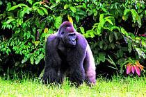 V Africe vzniká nová gorilí rezervace, která se bude rozkládat na území tří států.