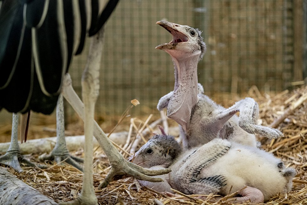 ... i dvě mláďata marabu. V roce 2020 se v pražské zoo narodilo nebo vylíhlo 1369 mláďat 216 druhů savců, ptáků a plazů. V novém roce se například narodila mláďata antilop či vzácný papoušek orlí.