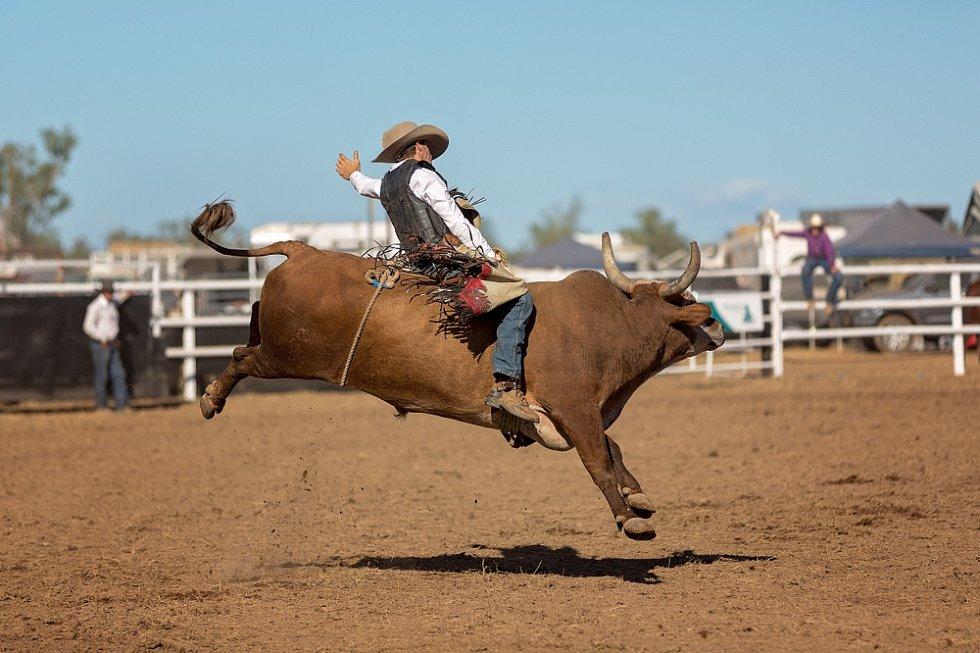 Na býcích se jezdí i rodeo.