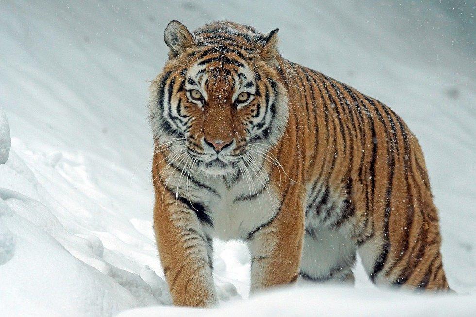 Jakmile zvířata vycítí nebezpečí, zapomenou na mezidruhové půtky. Na snímku je tygr