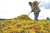 Vinaři sklízejí hrozny ze staré vinice u Havraníků na Znojemsku. Z hromad je sypou přímo do lisu.