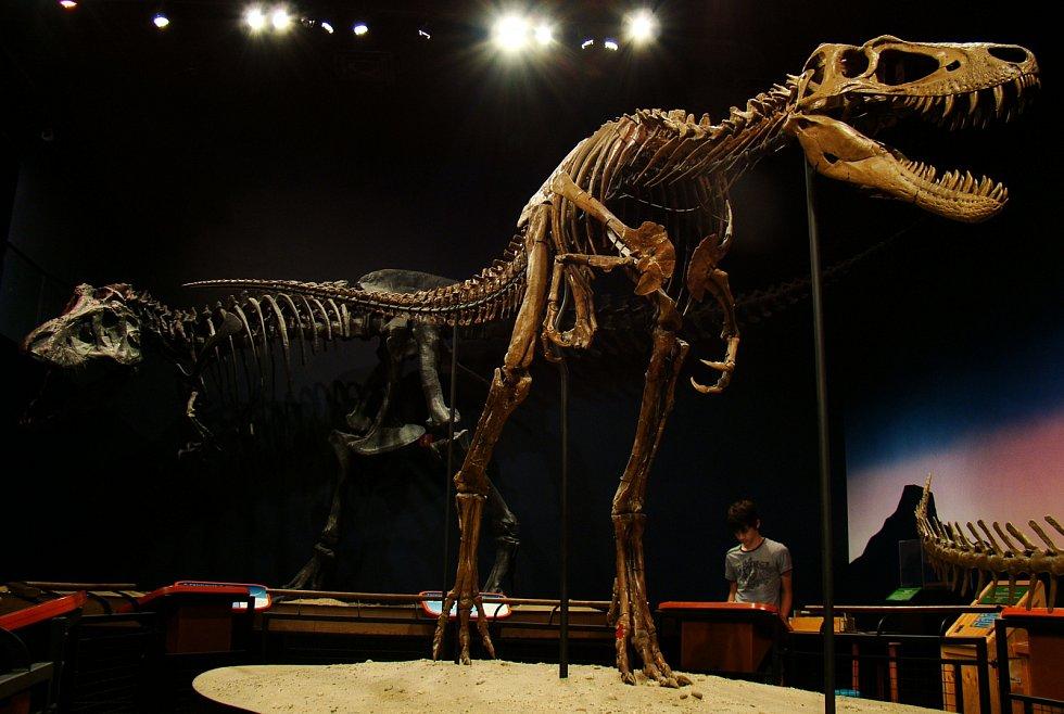 Kostra nedospělého Tyrannosaura rexe. V pozadí dospělý jedinec.