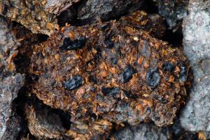 Zachovalý trus člověka z doby železné, který se našel v solných dolech v rakouském Hallstattu
