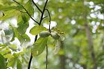 Muďoulu se také přezdívá banán severu.