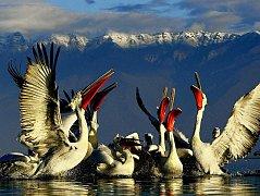 """Hejno pelikánů kadeřavých. Jeden z kandidátů na titul """"nejtěžší létající pták světa"""" na řeckém jezeře Kerkini."""