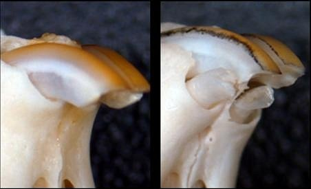 Pokus prováděný na myších ukázal dobré výsledky. U myší trpících vrozenou vadou charakterizovanou chybějícími řezáky se po podání genu mezery mezi zuby zaplnily.