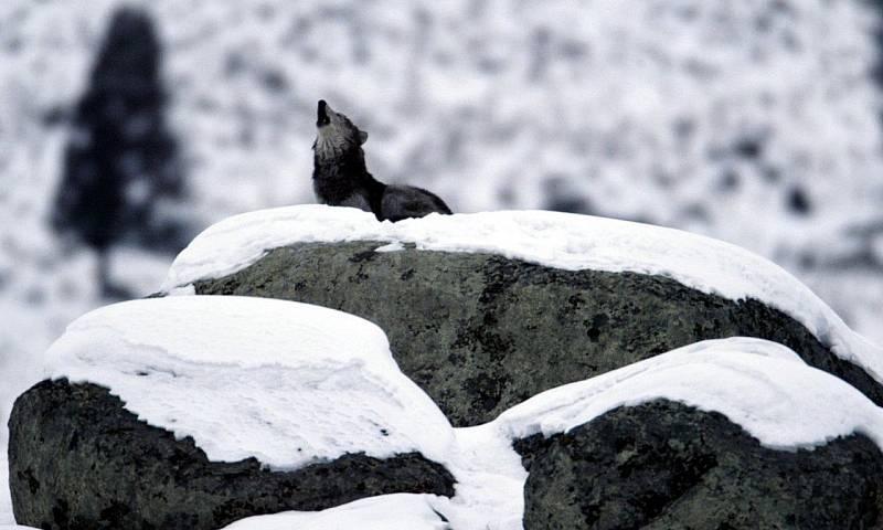 Pes se vyčlenil z dnes již vyhynulé populace vlků před 40 tisíci až 27 tisíci let, zřejmě bezprostředně před posledním ledovým maximem, kdy byla velká část stepí obývaných mamuty chladná a suchá