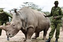 Poslední samec severního bílého nosorožce na světě žije v keňské rezervaci Ol Pejeta pod trvalým ozbrojeným dohledem. Rangeři ho hlídají před pytláky 24 hodin denně, stejně jako jeho dvě družky.