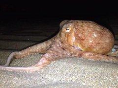 Chobotnice na pláži v New Quay ve Walesu