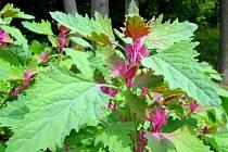 Lebeda - divoký špenát