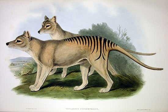 Umělecká rekonstrukce vakovlka tasmánského (Thylacinus cynocephalus)