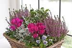 Bramboříky v kombinaci s dalšími podzimními květinami
