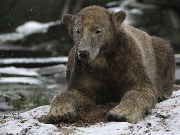 Knut vyrostl v pořádnou šelmu. Na snímku je dva dny před svými druhými narozeninami.