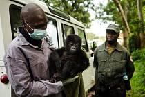 Ochrana ohrožených goril je v Kongu spojena s mnoha riziky