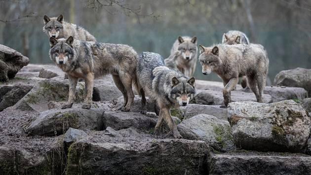Vlci. Ilustrační snímek